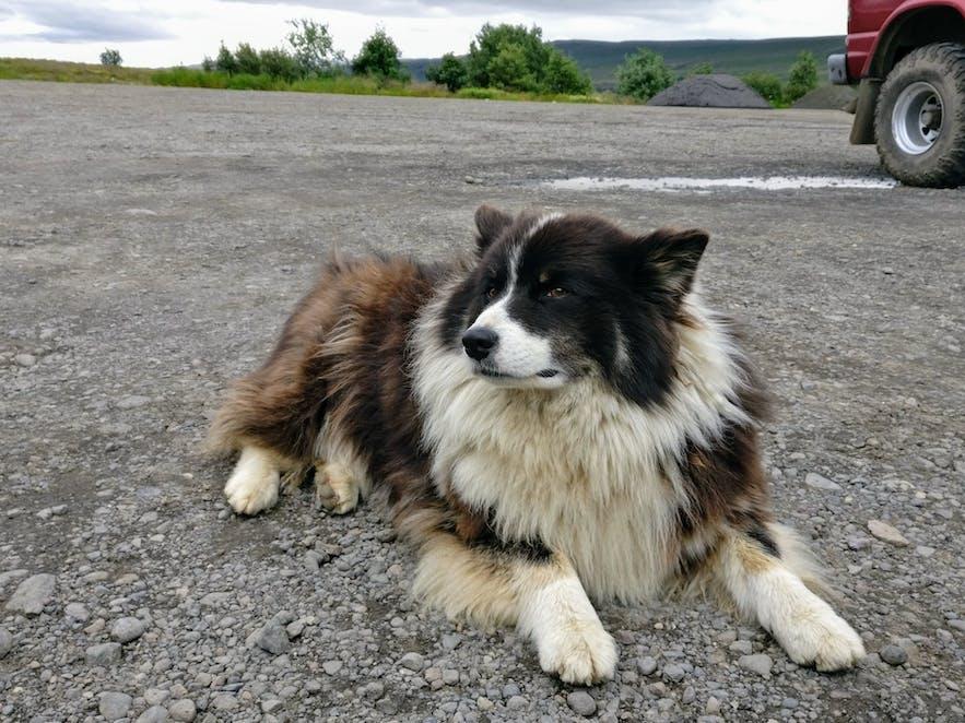 デイルダルトゥングクヴェルで放し飼いになっていた犬