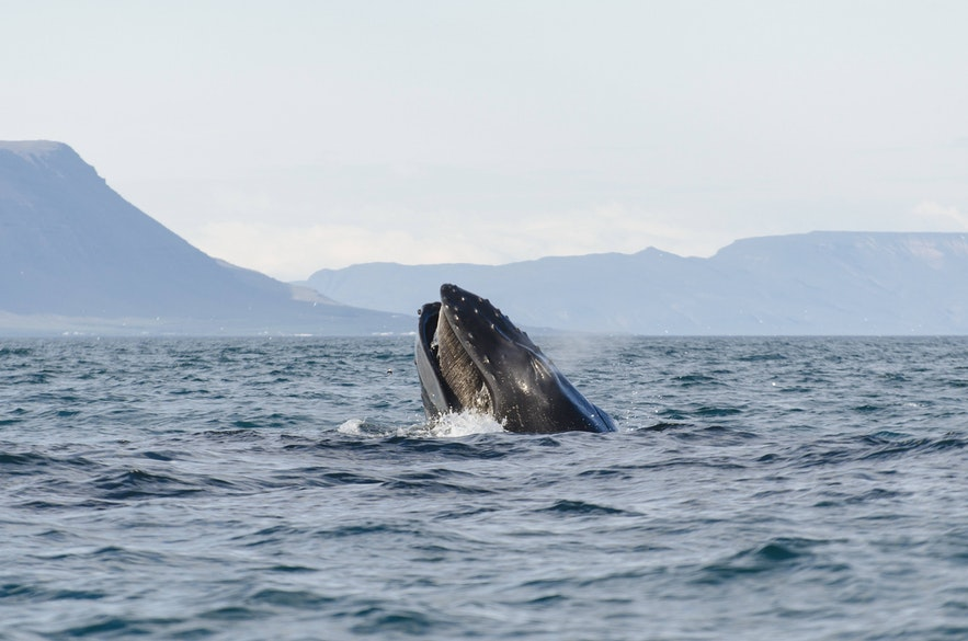 Een bultrug die verticaal boven het water uitsteekt en zijn baleinen laat zien