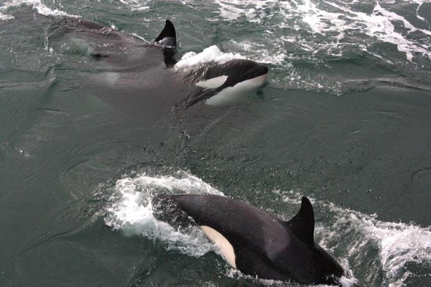 วาฬออสการ์เป็นวาฬที่ รักการเข้าสังคม จึงเป็นน้อยครั้งที่จำเห็นพวกเขาเพียงตัวเดียว