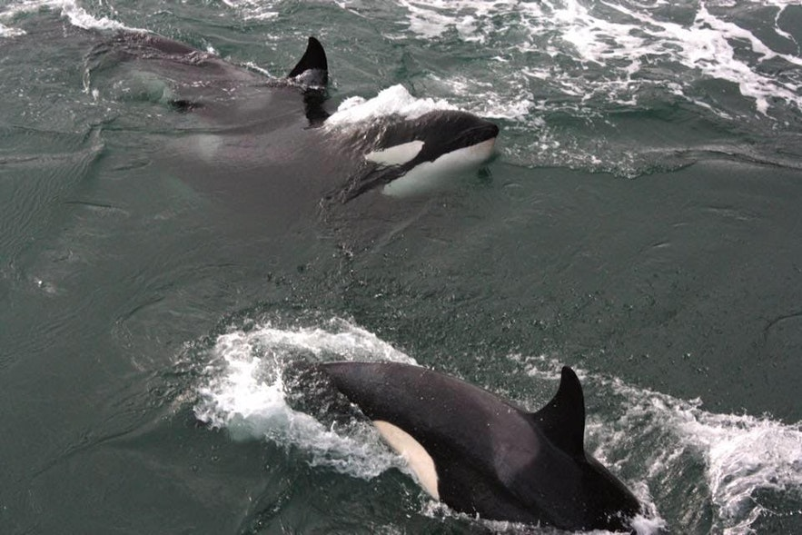Orcas are sociable animals and are rarely seen alone