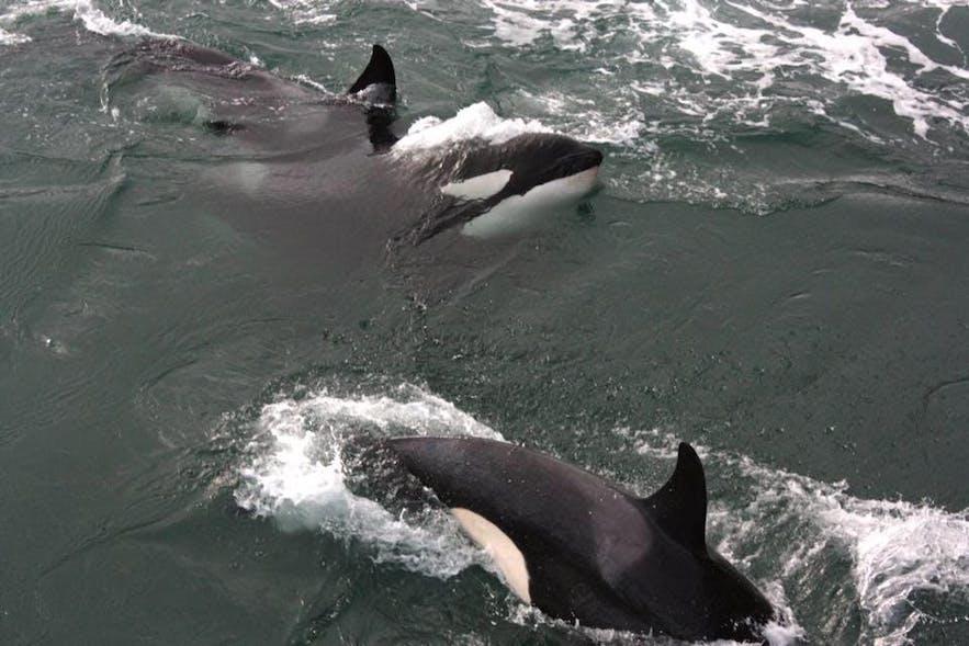 Orka's zijn sociale dieren en worden zelden alleen gezien
