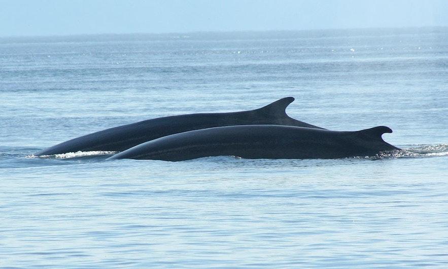 วาฬมิ้งค์ นั้นมีความเป็นส่วนตัวสูง แต่ก็สามารถเห็นได้เป็นกลุ่มเล็ก หรือแค่บางตัวสองตัว
