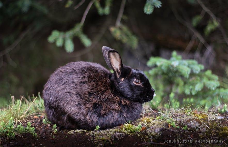 Ein halbwildes Kaninchen in Elliðaárdalur