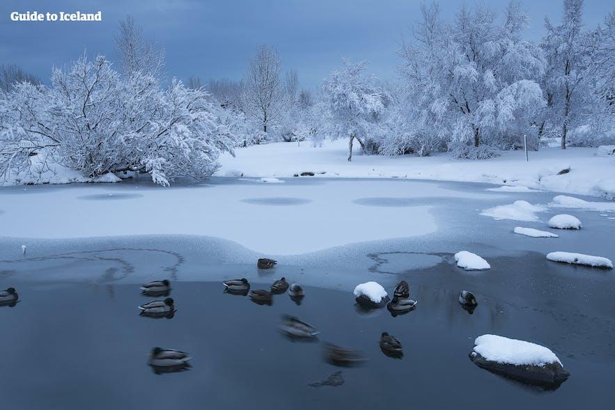 Der Teich im Park Laugardalur im Winter