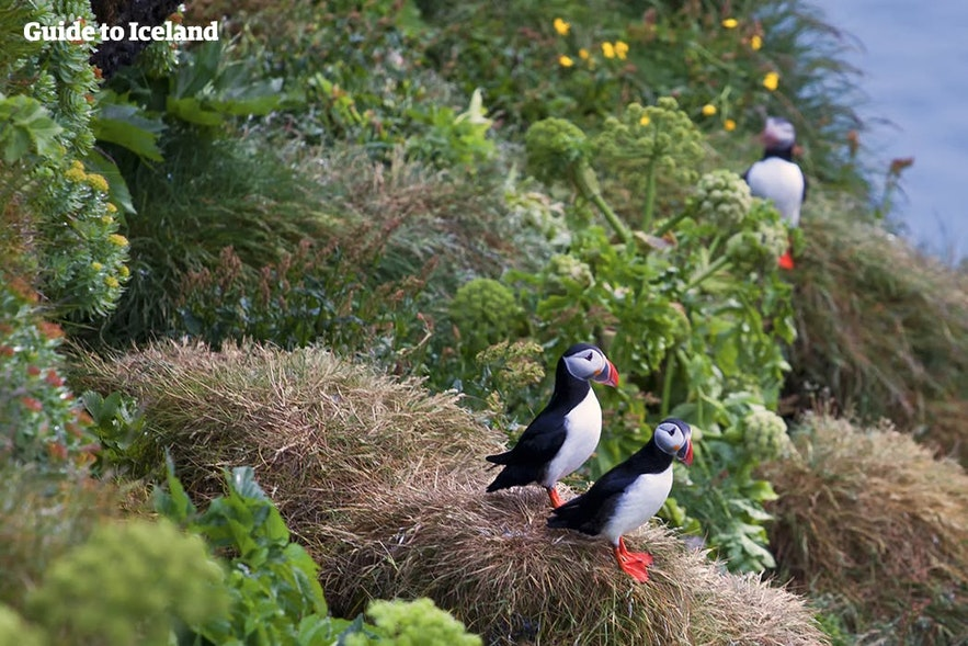 Maskonury stojące na zielonych klifach Islandii.