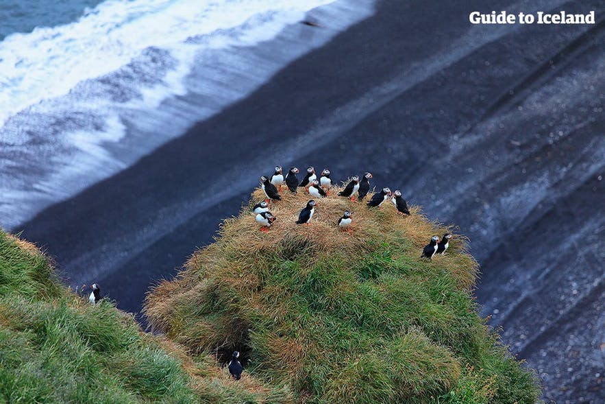 Puffins clustered at Dyrhólaey