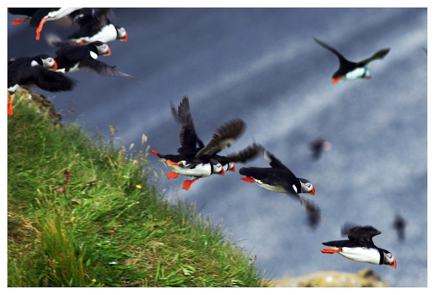 Maskonury na Islandii podrywające się do lotu.