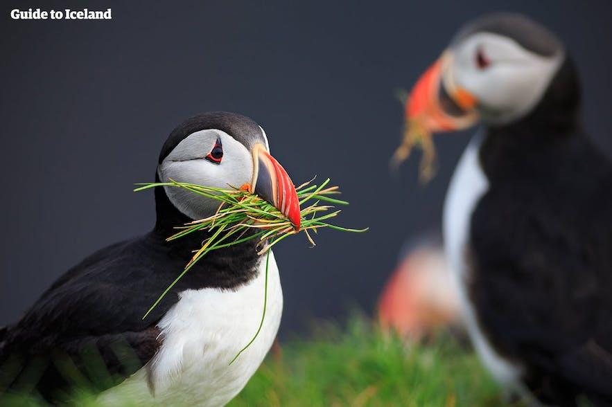 雛が巣立ちした後も、巣のメンテナンスをするパフィン