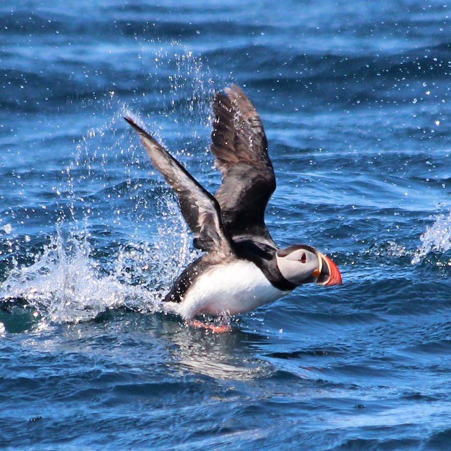 A puffin taking off in flight