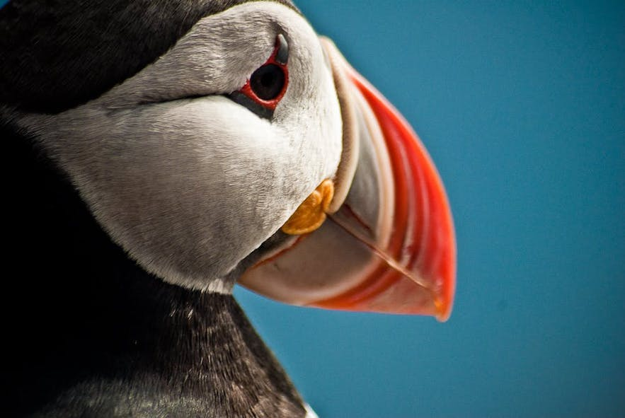 A close up of a puffin