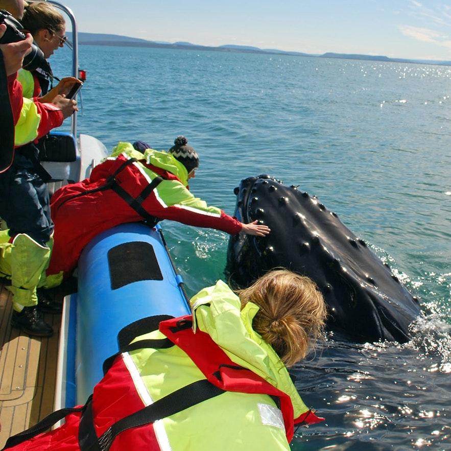 Niesamowite spotkanie podczas wycieczki na wieloryby na Islandii.