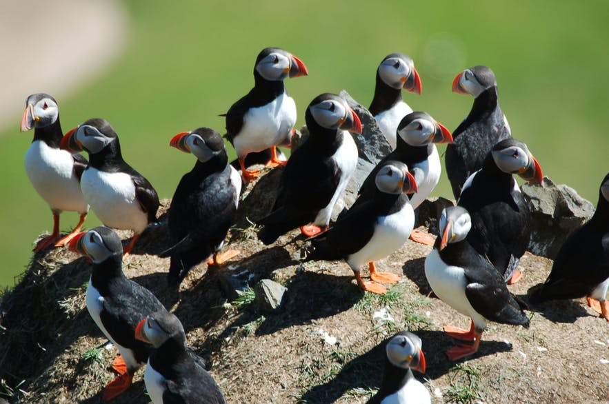 Puffins are very sociable when nesting