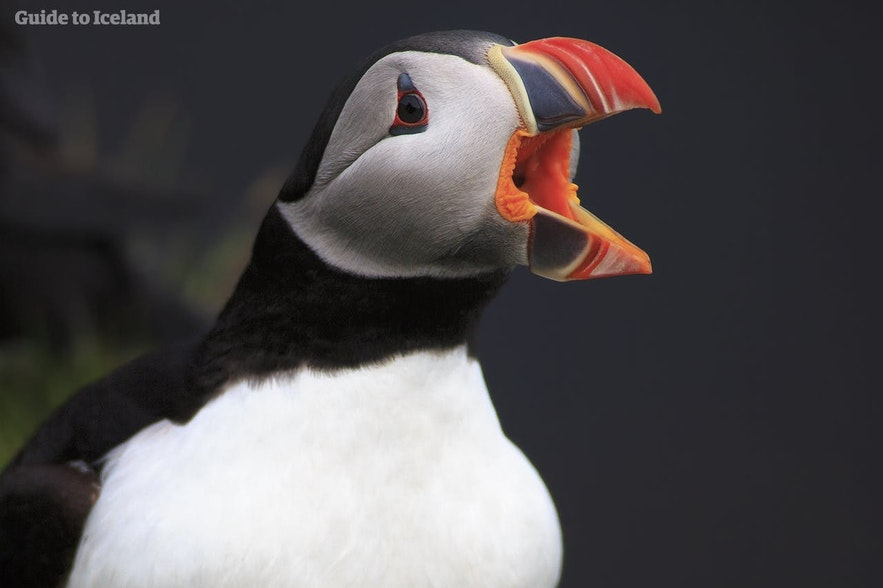Puffins are quite quiet, but make the sound of a very quite chainsaw when nesting and flying