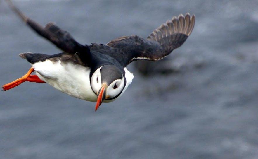 空を飛ぶパフィン