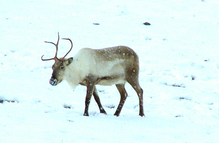 아이슬란드 동부 지역의 눈밭 위를 걷는 순록
