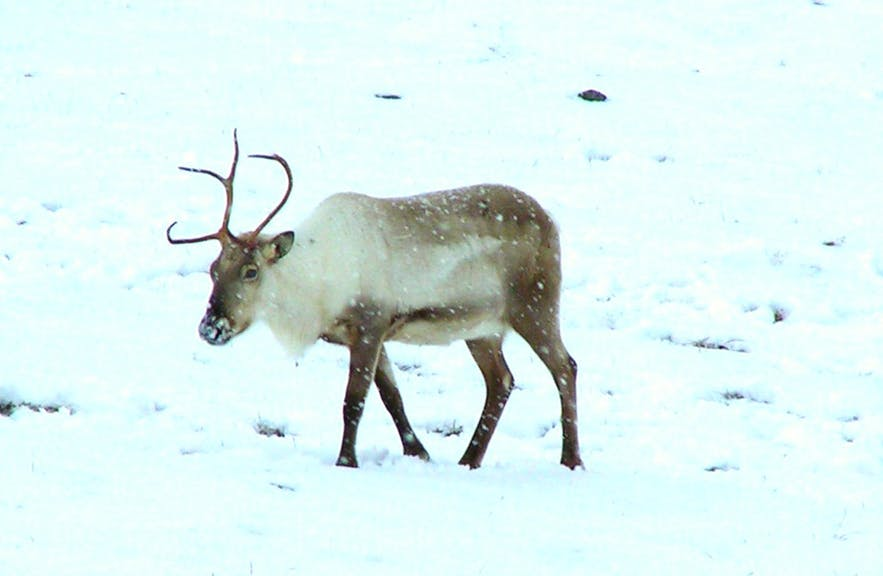 A reindeer braving the cold in East Iceland. ]
