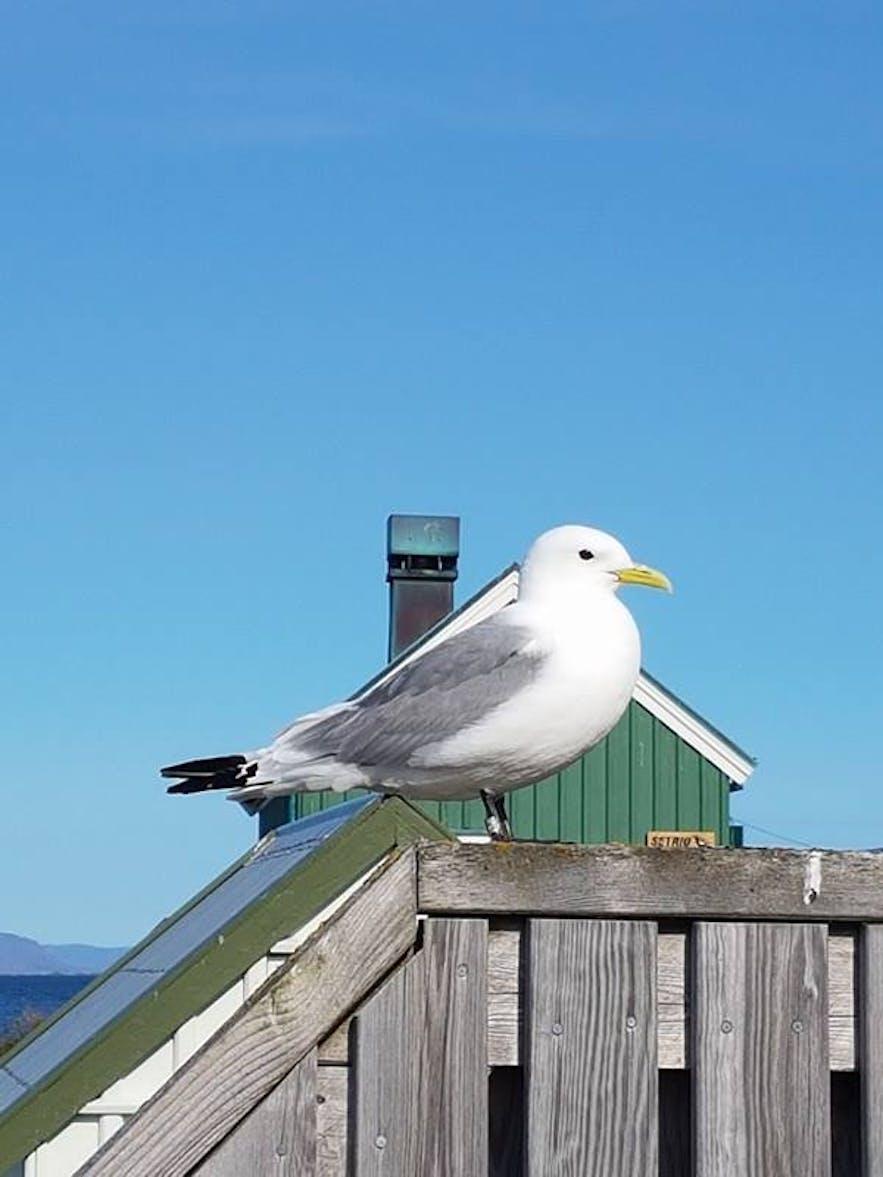 An Icelandic Gull