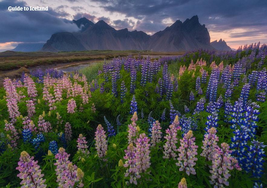 계절과 주변 자연의 모습이 바뀌어도 베스트라호른은 언제나 아이슬란드에서 가장 드라마틱한 풍경을 자랑하는 산으로 기억될 겁니다.