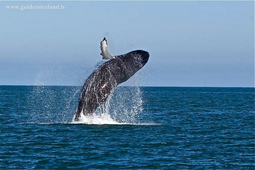 Best Whale Watching Spots in Iceland