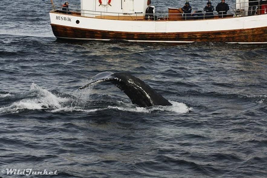 best whale watching spots iceland husavik
