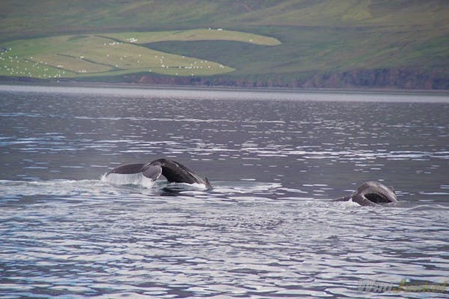 whale watching iceland westfjords