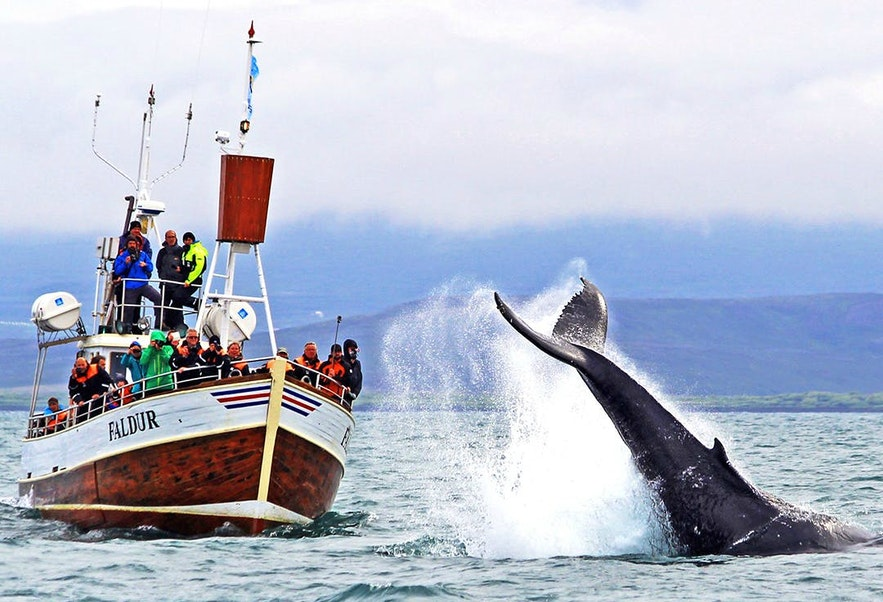 Whale watching in Iceland is almost always a breathtaking experience.