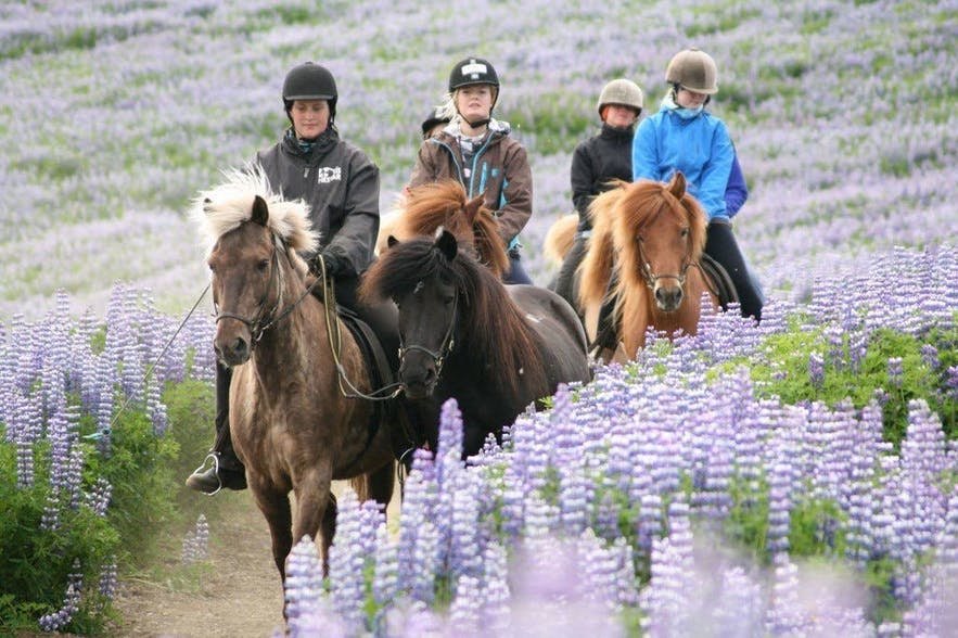 Horse riding through a field of lupins.