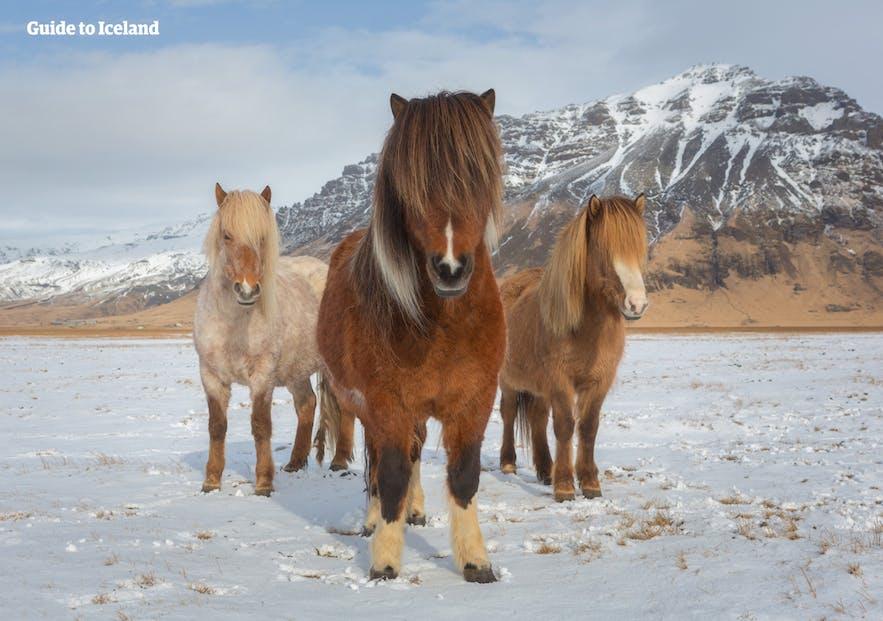 がっしりとした体格のアイスランドの馬