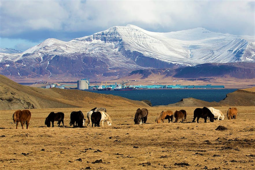 Icelandic horses unfortunate enough to be grazing on fluoride