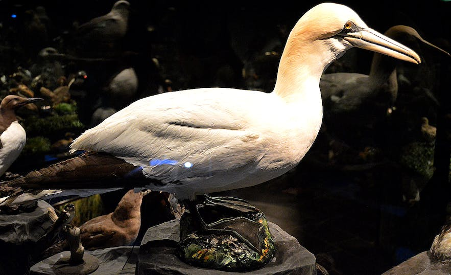 The Sigurgeir's Bird Museum at Mývatn - Breeding Birds in Iceland