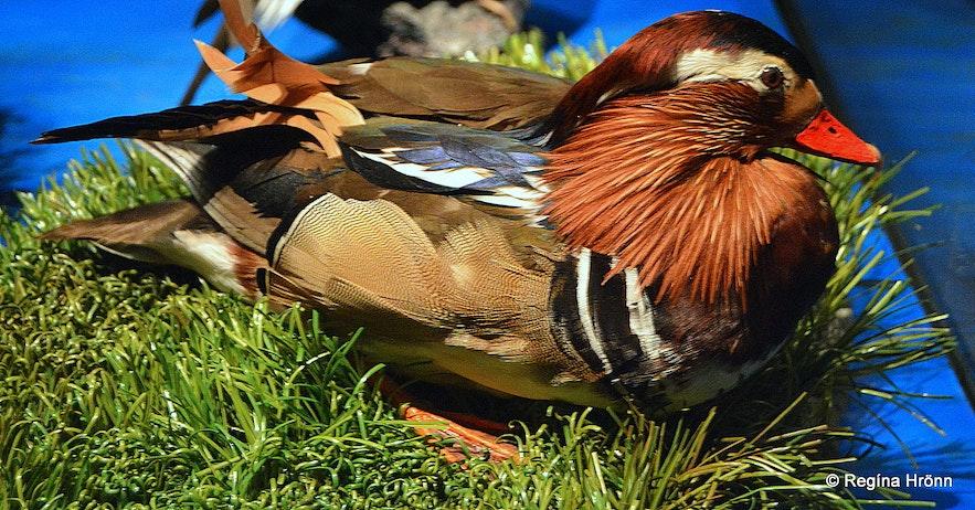 A Mandarin duck at the Sigurgeir's Birds Museum Mývatn