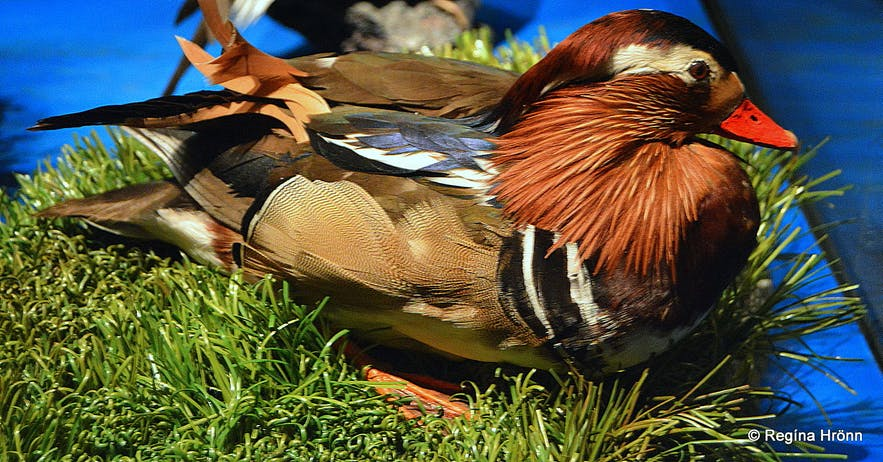 A Mandarin duck at the Sigurgeir's Birds Museum Mývatn