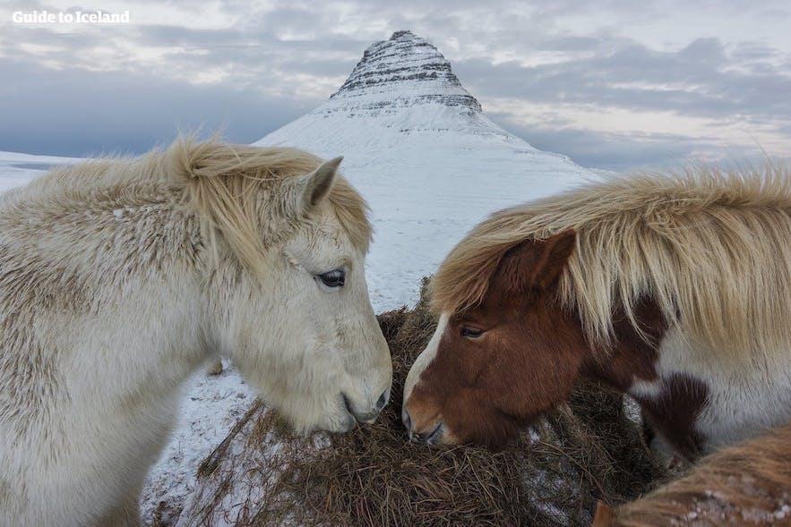 Konie na Islandii, Półwysep Snaefellsnes