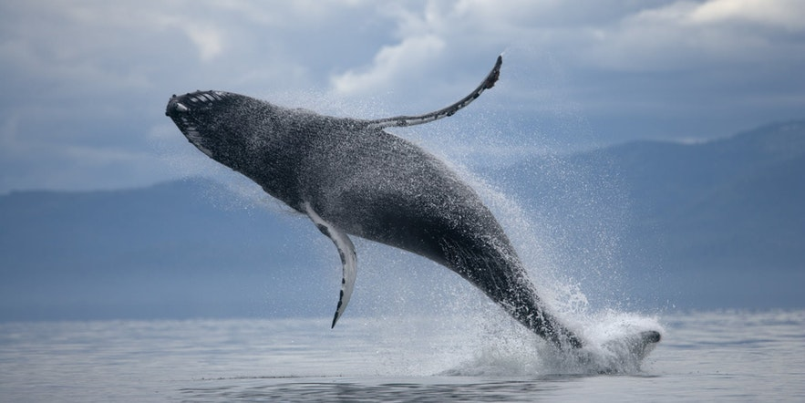 Turn on your 'sports' setting to catch breaching cetaceans while they are in the air
