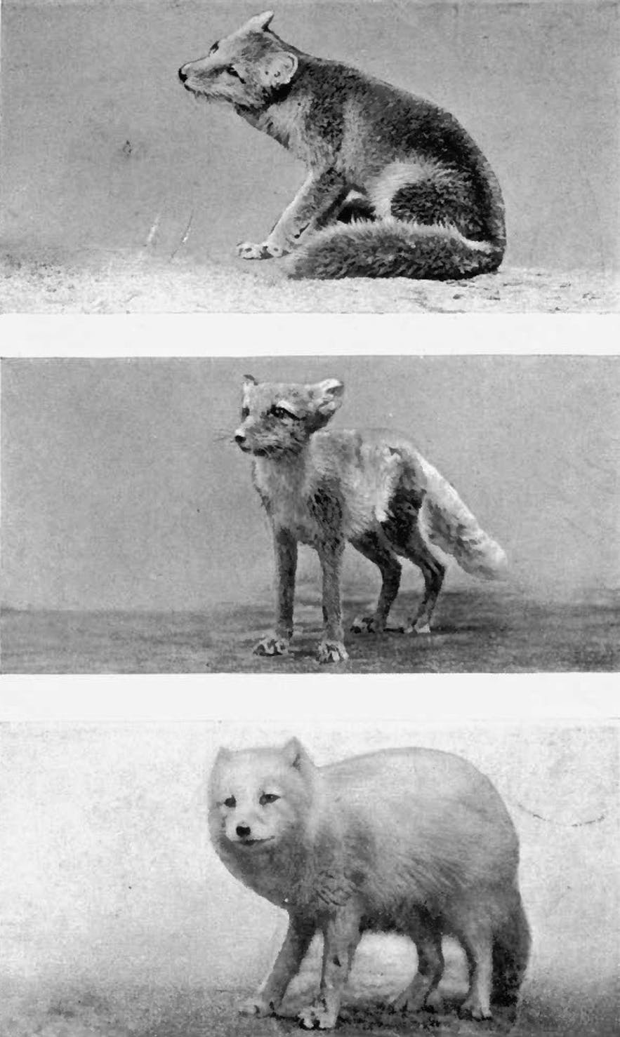 Research photographs showing the various stages of an Arctic Fox coat.