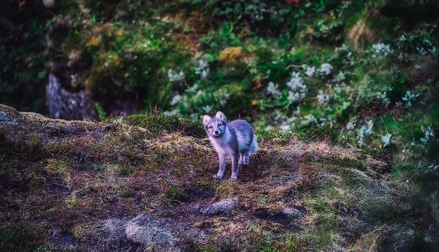 Arctic Foxes are a protected species in Hornstrandir Nature Reserve.