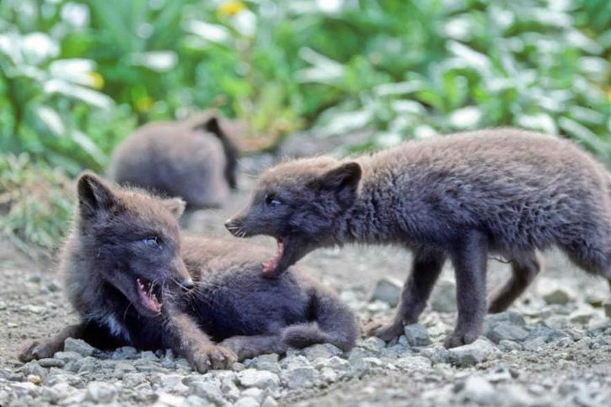 Young Arctic Foxes wear black coats, changing in colour as they reach sexual maturity.