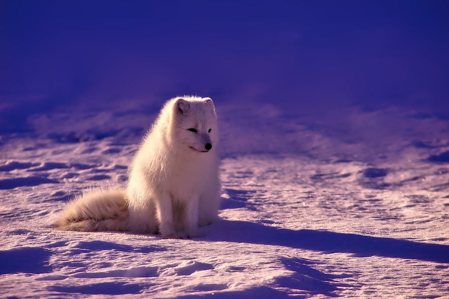 Spotting an Arctic Fox in the wild requires patience and perseverance. That's not to say it's impossible though!