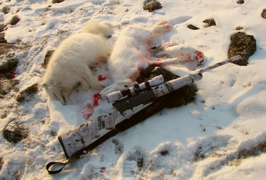 Hunting Arctic Fox in Iceland takes place every year, justified as pest control.