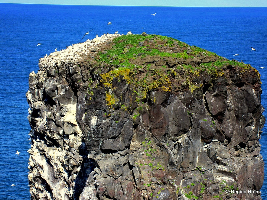 Gannet in abundanceon one of the seastacks