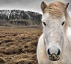 On your travels, you're bound to meet the famed Icelandic horse, a rugged, hardy and reliable breed.