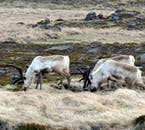 East Iceland is the only region in the country where it is possible to see herds of wild reindeer.