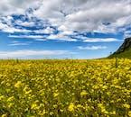 Field of flowers in the shadow of Sólheimajökull Glacier in Iceland.