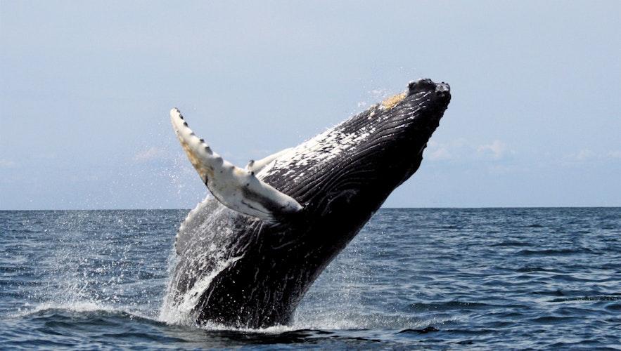 En knølhval hopper majestetisk opp av vannet