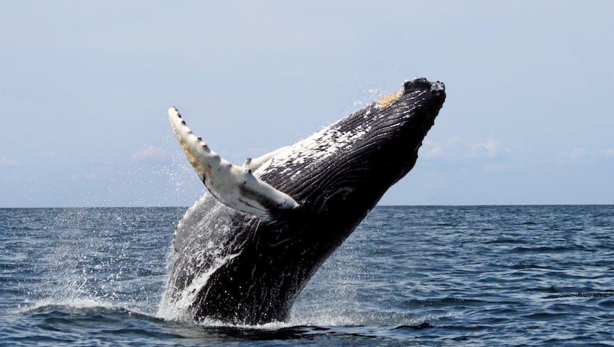 En pukkelhval, der springer majestætisk ud af vandet
