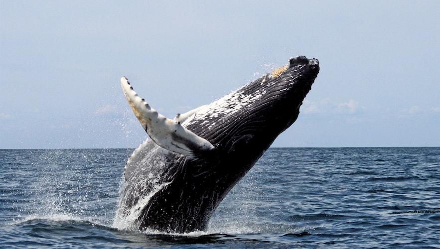 Горбатый кит игриво выпрыгивает из океана на китовом сафари в Исландии