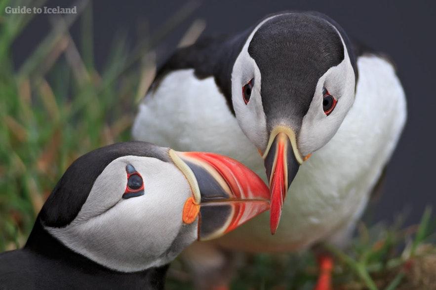 Elskende lundefugler