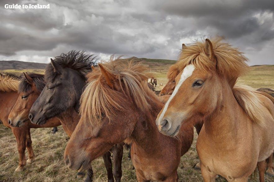 Den smukke islandske hest kan have mange forskellige farver