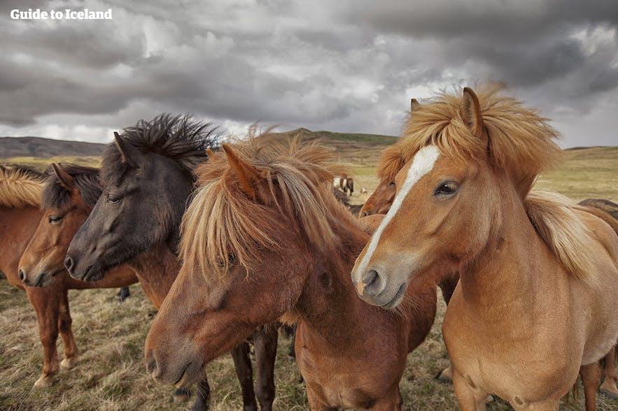 Das schöne Islandpferd präsentiert sich in vielen verschiedenen Farben