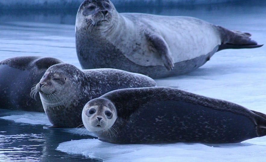 Тюлени вальяжно развалились на льду. Исландия.